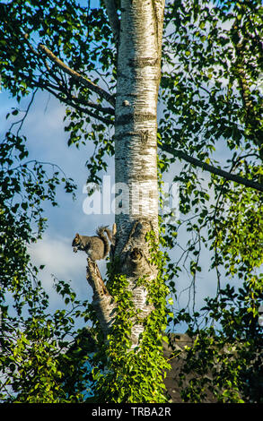 A Grey Squirrel acting as look out halfway up a silver birch tree - Stock Image