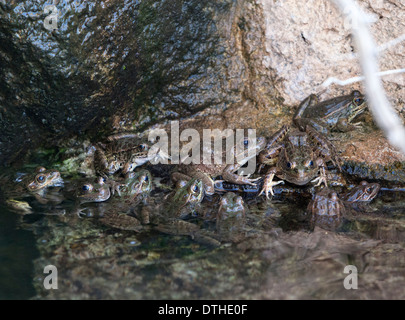 A leopard frogs in a shallow stream in Arizona, USA. - Stock Image