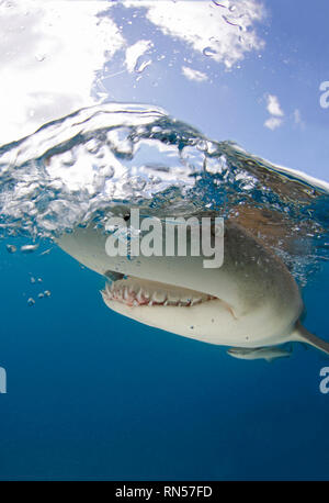 Lemon Shark (Negaprion brevirostris) Close-up, Split Shot at Surface. Tiger Beach, Bahamas - Stock Image