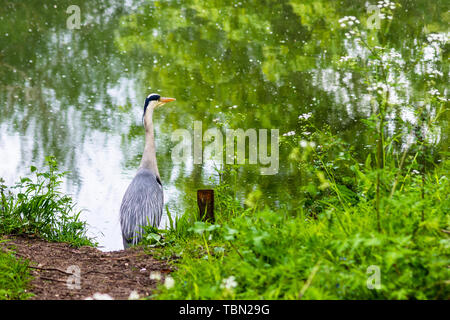 Agrey heron Ardea cinerea standing on the bank of the Bristol Avon river near Bradford on Avon - Stock Image