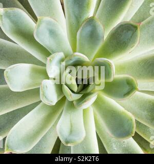 A close up of a green and lush succulent plant in a square frame with copy space - Stock Image