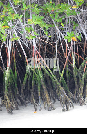 Roots of Red Mangrove (Rhizophora mangle) plunge into white sand. Tortuga Bay. Puerto Ayora, Santa Cruz, Galapagos, - Stock Image