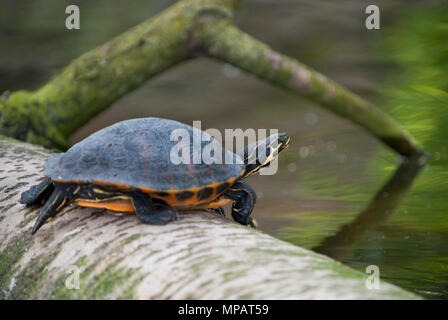 male Western Painted Turtle, (Chrysemys picta), non-native species released into a lake in Regents Park, London, United Kingdom - Stock Image