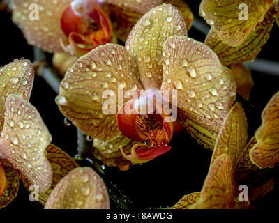 Arrangement of orchids in studio setting in close up - Stock Image