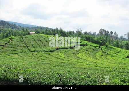 Green hill of tea plantation in Subang, West Java - Stock Image