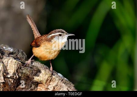 Carolina wren - Stock Image