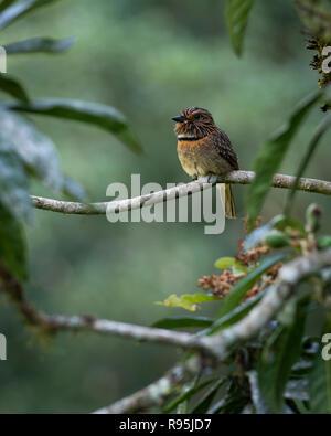 A Crescent-chested Puffbird (Malacoptila striata) from the Atlantic Rainforest of SE Brazil - Stock Image