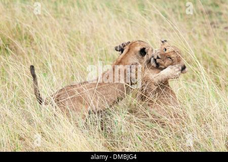 Two African Lion Cubs playing together, Panthera leo, Masai Mara National Reserve, Kenya, Africa - Stock Image