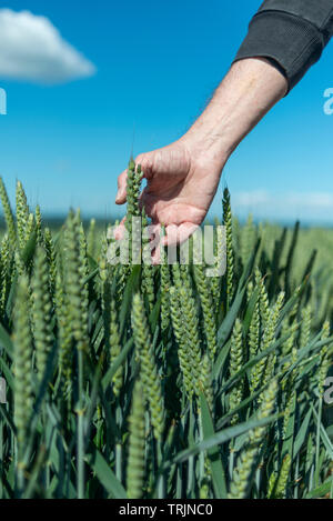 man farmer running his hand through ripening wheat in a field, close up. - Stock Image