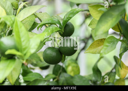 Image of 3 lime on a branch - Stock Image