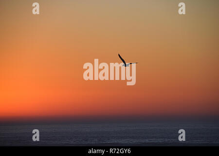 Seagull silhouette at twilight sunset, Morocco - Stock Image