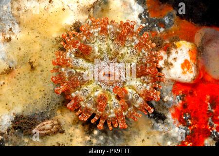 Sea Anemone,Telmatactis ternatana. Tulamben, Bali, Indonesia. Bali Sea, Indian Ocean - Stock Image