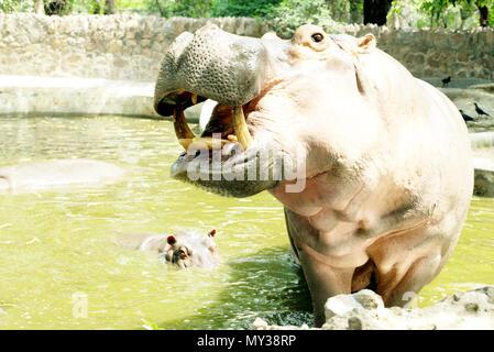 Hippopotamus - Stock Image
