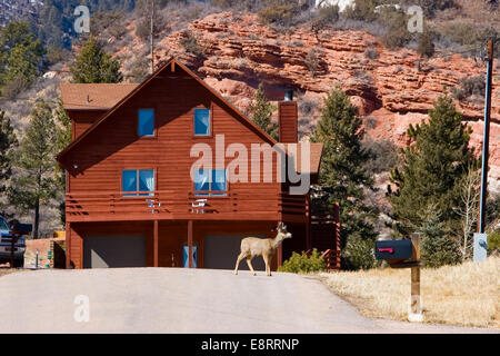 A suburban home amongst red rocks with a deer in the driveway in Perry Park, Colorado - Stock Image