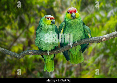 Ecuadorian red-lored amazon / lilacine amazon (Amazona lilacina / Amazona autumnalis lilacina) pair perched in tree, native to Ecuador, South America - Stock Image