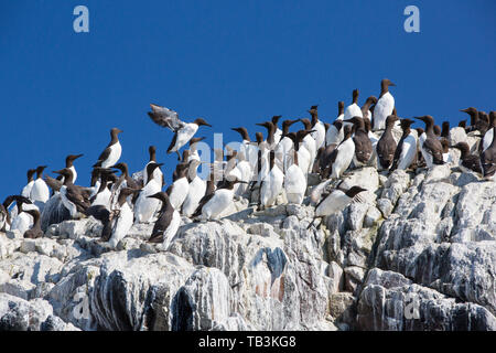Common Guillemots on breeding cliffs on the Farne Islands, Northumberland, UK. - Stock Image