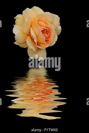 Art image of english rose 'Grace' reflected in water - Stock Image