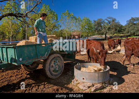 Sierra Norte Natural Park - Farm with cows. San Nicolas del Puerto. Seville province. Region of Andalusia. Spain. Europe - Stock Image