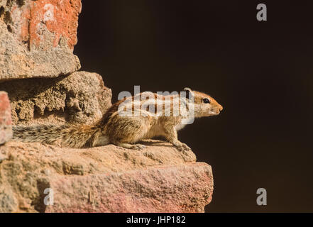 Northern Palm Squirrel,(Funambulus pennantii), or the Five-striped palm squirrel, sits on brick wall,Keoladeo Ghana - Stock Image