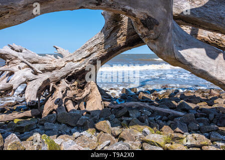 Sun-bleached driftwood tree on Jekyll Island's Driftwood Beach along the Atlantic Coast of Southeast Georgia's Golden Isles. (USA) - Stock Image