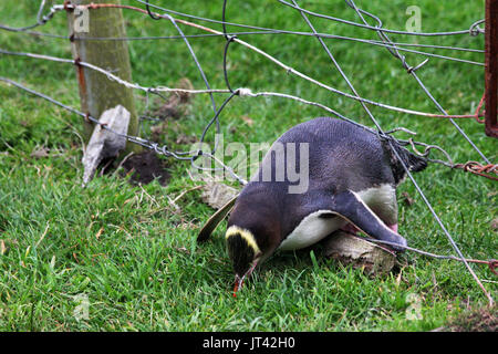 Yellow-eyed Penguin (Megadyptes antipodes) crossing a fence in the nature reserve (photo series 3 of 5) - Stock Image