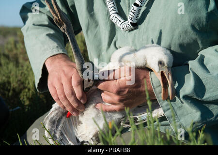 Conservationist ringing Spoonbill (Platalea leucorodia) Saintes-Maries de la Mer, Tour du valat, Camargue, France, May. Model released. - Stock Image