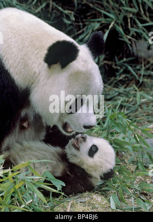 Giant panda mother with 5-month-old baby Wolong China. - Stock Image