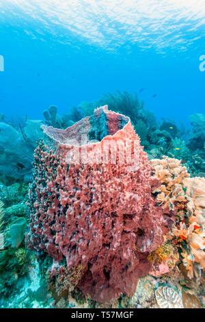 Coral garden in Caribbeanoff the coast of Roatan Honduras - Stock Image