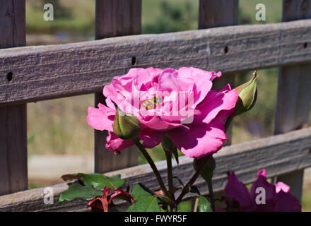 Pink rose with bee and clear pollen sacks. - Stock Image