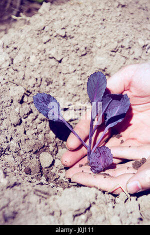 farmer planting a red cabbage - Stock Image