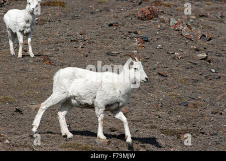 Dall sheep mountain goats wild Canada Yukon ewes - Stock Image