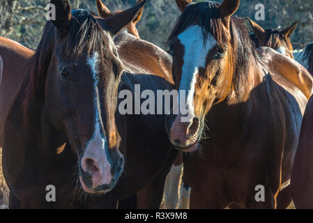 USA, California, Parkfield, V6 Ranch chestnut brown horses with a white blaze (PR) - Stock Image