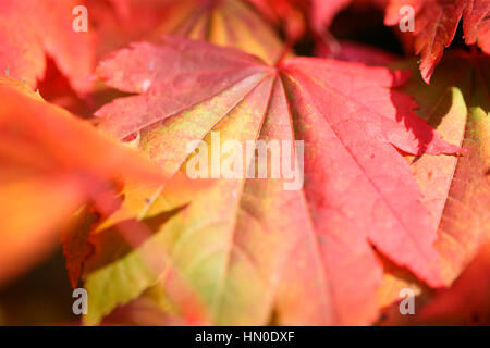 Acer Japonicum Full Moon Maple close up, leaves changing colour in Autumn  Jane Ann Butler Photography JABP1828 - Stock Image