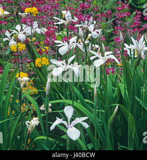 Close up detail of a bog garden border with Primulas and Iris's - Stock Image