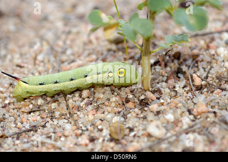 Silver-striped hawk moth caterpillar (Hippotion celerio: Sphingidae) resembling a small snake, Namibia - Stock Image