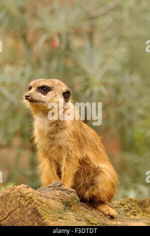 Watchful Meerkat on duty - Suricatta suricates - Stock Image