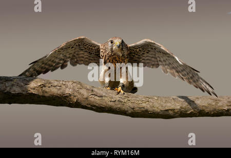 Common Kestrel (Falco Tinnunculus) (also known as the European or Eurasian Kestrel) - Stock Image