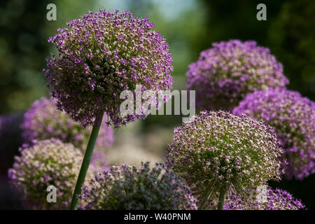 Closeup of giant onions (Allium giganteum, Amaryllidaceae) in a garden in spring - Stock Image