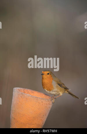 European Robin, finding food in an old flower pot, late winter in Oxfordshire - Stock Image