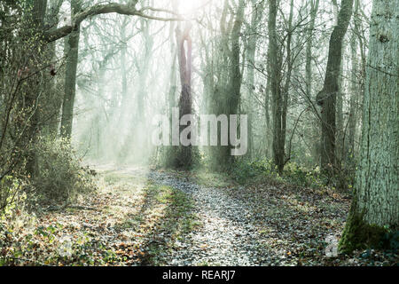 Legbourne Woods, Lincolnshire, UK. 21st January, 2019. UK Weather: Legbourne Woods, Lincolnshire, UK. 21/01/2019 Misty start to the day in Legbourne woods, mist highlighted by the sun burning through the trees in Legbourne Woods near Louth, Lincolnshire UK England Credit: Tommy  (Louth)/Alamy Live News - Stock Image
