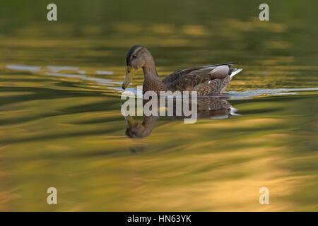 Mallard (Anas platyrhynchos) duck and reflection. Scotland. July. - Stock Image