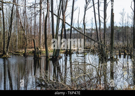 Water & reflections. Boggy swamp area with dead & dying trees next to Luisenhof road, Brandenburg, Germany - Stock Image
