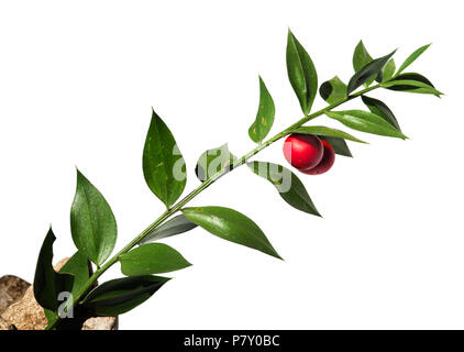 Green twig of Buthers-broom (Ruscus aculeatus) false leaves with two red berries/fruit isolated against a white background. Parque Natural da Arrabida - Stock Image