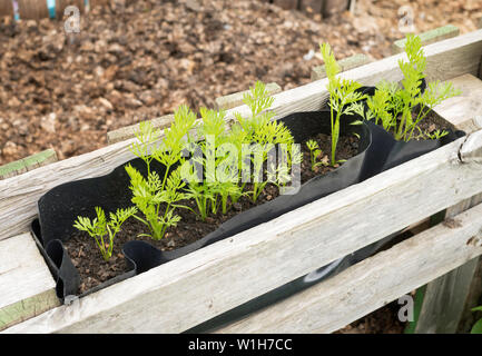Carrots growing high above the ground in a container built into a pallet forming the wall of a compost heap, to avoid carrot root fly. - Stock Image