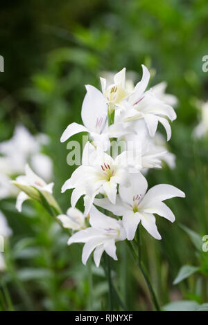 Gladiolus x colvilli 'The Bride' flowers. - Stock Image