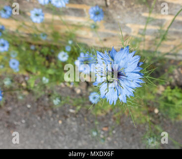 Love in a mist Miss Jekyll - Stock Image
