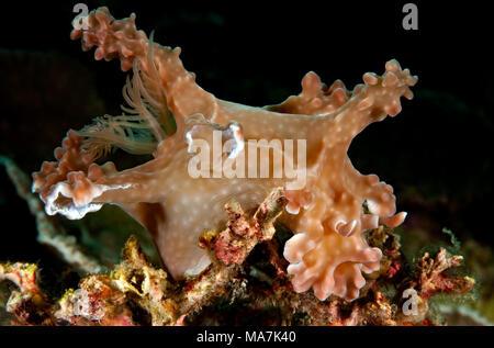 Ceratosoma alleni - Stock Image