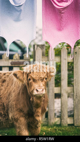 Highland cow standing next to clothes drying on a washing line, Isle of Skye, Scotland - Stock Image