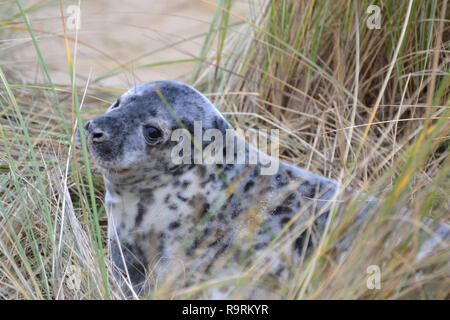 Horsey Beach, Norfolk, UK. 26th Dec, 2018. A young grey seal pup on Horsey Beach, Norfolk, UK on Boxing Day 2018. Every winter a colony of grey seals comes ashore to give birth at Horsey on the Norfolk Coast. When this photographs was taken there were more than 1,000 seals ashore. Credit: Steve Nichols/Alamy Live News - Stock Image