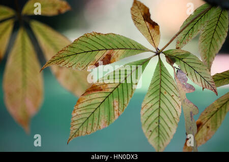 autumn red buckeye leaves decaying Jane Ann Butler Photography  JABP1824 - Stock Image